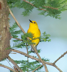 The Prothonotary Warbler is often found around a lake,pond or other body of water where it feeds on insects.  This bird was photographed at Bay City Birding Center.