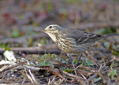 Northern Waterthrush photographed in Brazos Bend State Park.  The low light and bobbing tail left it blurry.