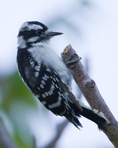 Downy Woodpecker 8809