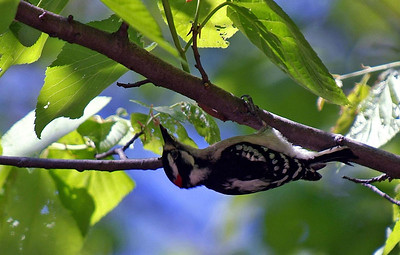 Downey Woodpecker photographed at Bear Creek Park.