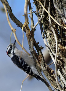 Downy Woodpecker at Brazo Bend State Park