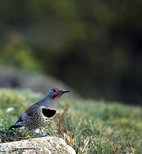 Northern Flicker photographed in Estes Park, Colorado.