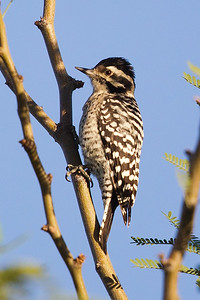 Ladder-backed Woodpecker 1646