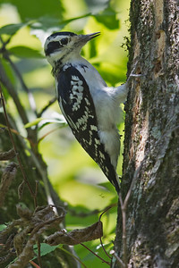 Hairy Woodpecker 8493