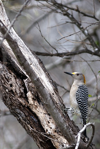 Golden-fronted Woodpecker photographed in Choke Canyon State Park