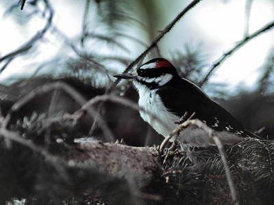 Hairy Woodpecker photographed in Rocky Mountain National Park