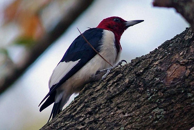 Red-headed Woodpeckers appear to be all dressed up and nowhere to go.  They are common inhabitants at Bear Creek Park where this one was photographed.