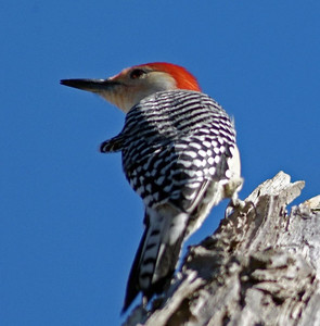 Don't confuse this guy with a Red-headed Woodpecker.  This is a Red-bellied Woodpecker photographed at Brazos Bend State Park.