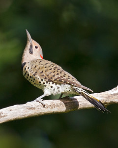 Northern Flicker 8637