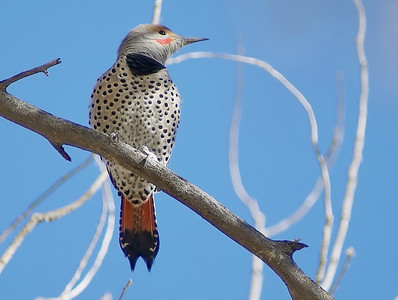 Northern Flicker photographed in Dead Horse Ranch State Park, AZ.