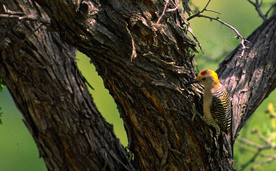 Golden-fronted Woodpecker photographed in Big Bend National Park