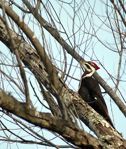 Pileated Woodpecker at Brazos Bend State Park
