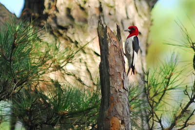 Red-headed Woodpecker photographed at Jones State Forest, FM1488, Montgomery County.