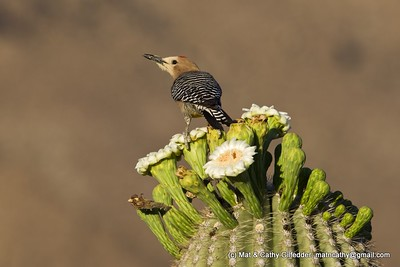 Gila Woodpecker 7411