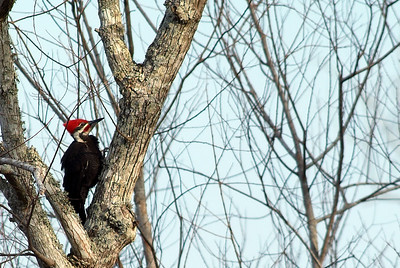 Pileated Woodpeckers are common residents at Brazos Bend State Park.  You usually find them in pairs, male and female.  They have a loud laugh and loud peck.