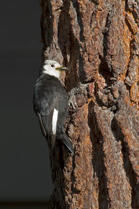 White-headed Woodpecker 4335