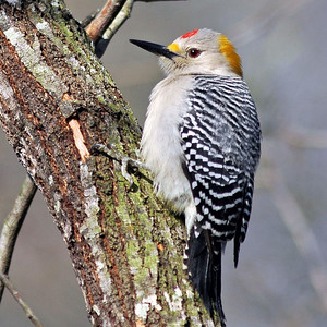 Golden-fronted Woodpecker photographed at Bentson-Rio Grande State Park.