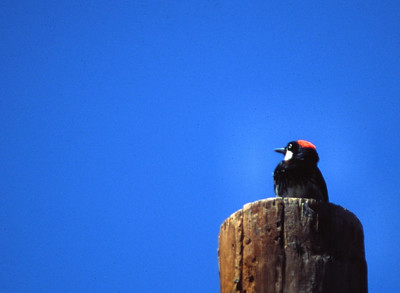 Acorn Woodpecker photographed in Ft. Davis, TX