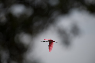 Flying Roseate Spoonbill