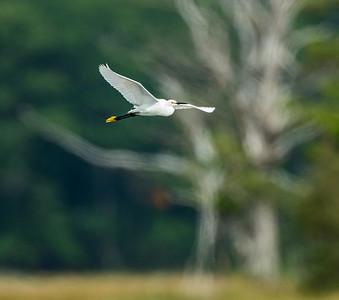 Egret over the Marsh
