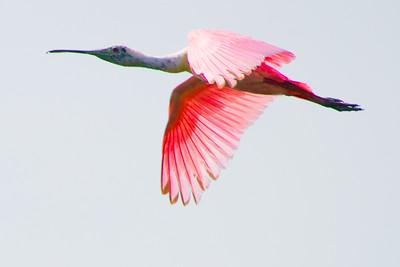 Flying Roseate Spoonbill