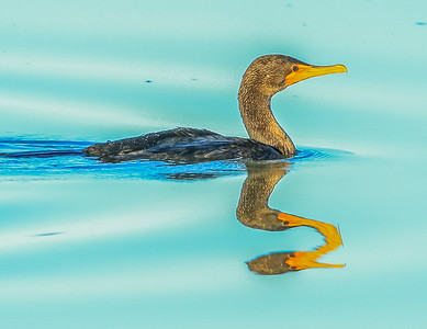 Cormorant Reflection