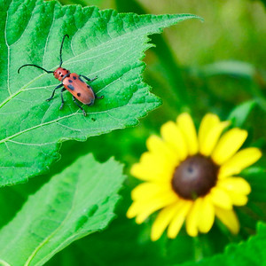 Brown-eyed Susan and Milkweed Beetle