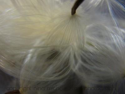 Milkweed Seeds IV