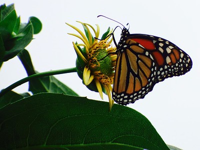 Silphium with Monarch Butterfly