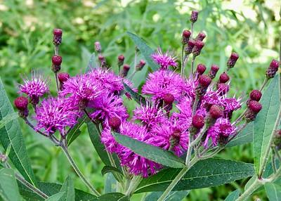 Ironweed, Asteraceae
