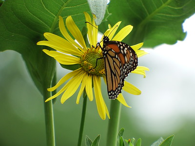 Monarch nectaring on Cup Plant