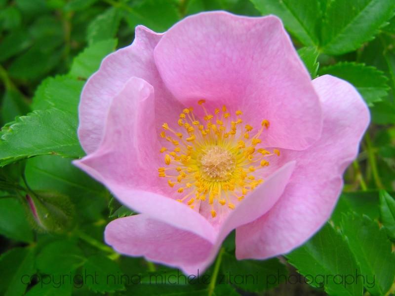 Carolina Rose I