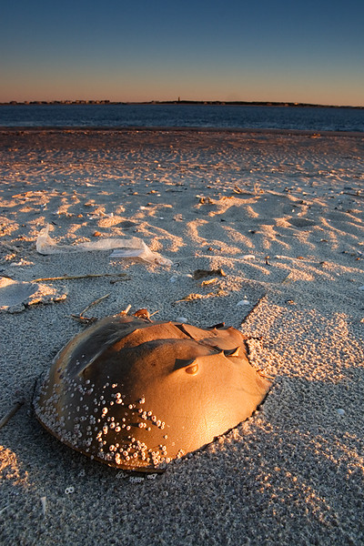 Horseshoe crab shell on the beach.