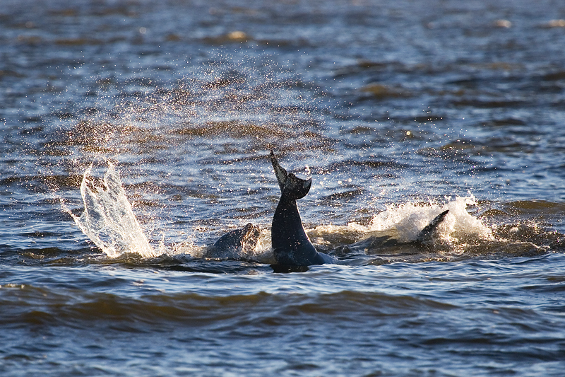 Dolphins playing just off shore.
