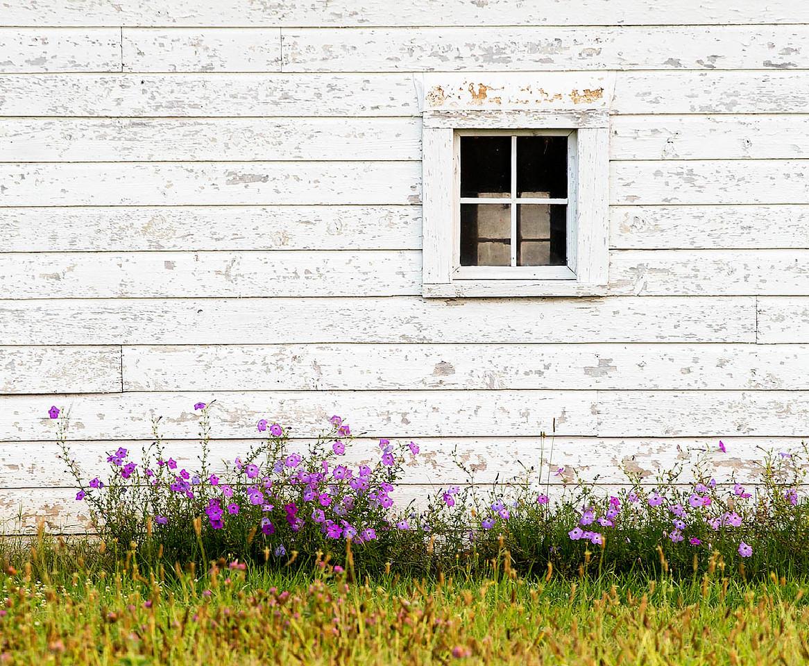 White Barn and Purple Flowers Tyro,NC.