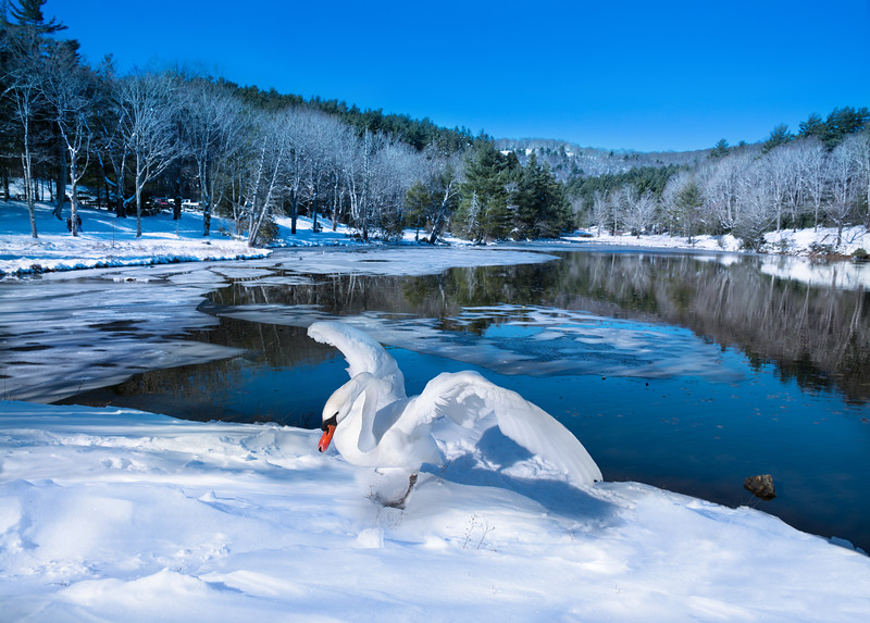 Beautiful bird spreading wings on the snow by the lake in frosted forest. Winter scenery. <br /> Bass Lake, Blowing Rock, close to Blue Ridge Parkway, North Carolina, US