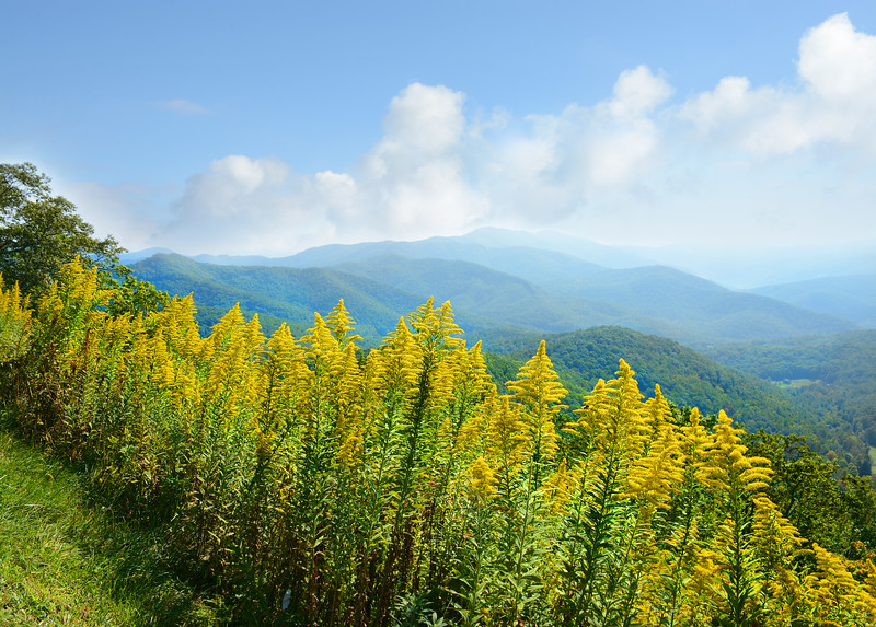Beautiful summer mountain landscape, yellow wild flowers in foreground. Blue Ridge Parkway.  Close to Asheville, North Carolina, USA.