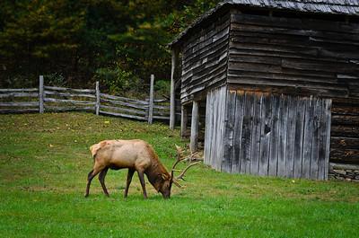 Lone Elk