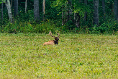 A bull elk lays down in the tall grass in a field in Cataloochee, Great Smoky Mountains National Park, September 23, 2018. (Joseph Forzano / Deep Creek Films)