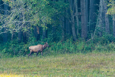 A female elk wanders out from the tree line in Cataloochee, Great Smoky Mountains National Park, September 23, 2018. (Joseph Forzano / Deep Creek Films)