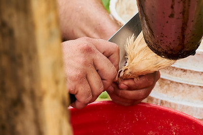 Hayden Smith, co-owner of Gnome Mountain Farms in Franklin, North Carolina (left) slits the throat of a chicken to be processed, on Sunday, June 27, 2021. The cut needs to be precise, so as to avoid cutting the windpipe.  (Joseph Forzano / Deep Creek Films)