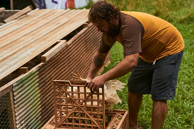 Hayden Smith, co-owner of Gnome Mountain Farms in Franklin, North Carolina, places chickens in the temporary crate which will be used to move them to the processing area, Sunday, June 27, 2021. (Joseph Forzano / Deep Creek Films)