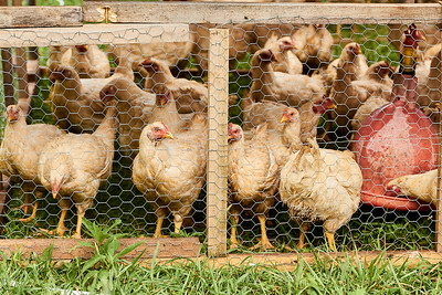 Some of the chickens that will be processed at Gnome Mountains Farms in Franklin, North Carolina, on Sunday, June 27, 2021. (Joseph Forzano / Deep Creek Films)