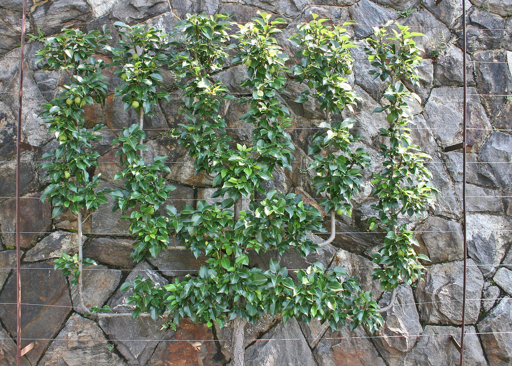 Lemon tree staked on wall