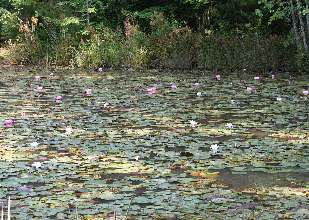 Lily pads in lake where we are gemming