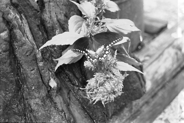 Butterflies at the Catawba Science Center in Black and White