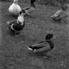 4 Banner Elk Ducks
