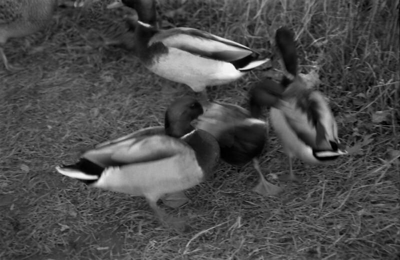 17 Banner Elk Ducks