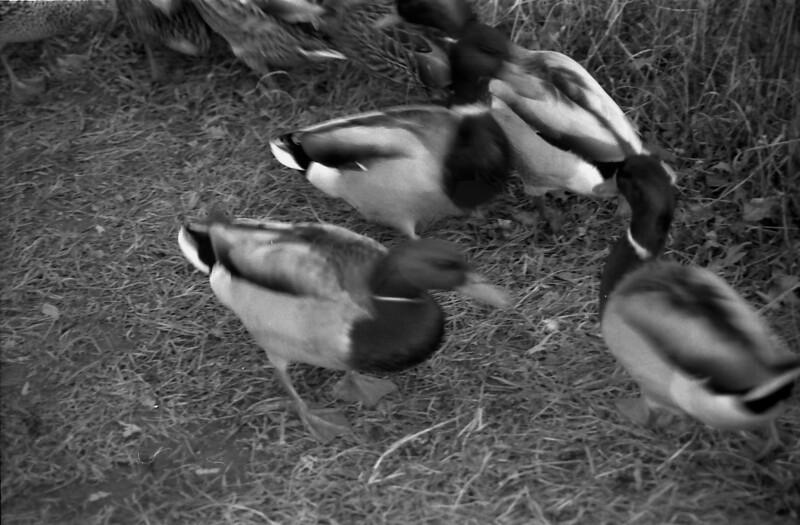 16 Banner Elk Ducks
