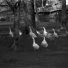 3 Banner Elk Geese